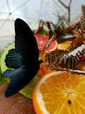 Butterflies. Eating oranges royalty free stock photos