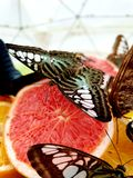 Butterflies. Eating oranges royalty free stock image