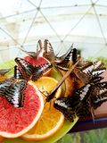Butterflies. Eating oranges stock images