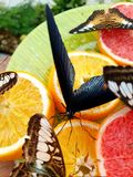 Butterflies. Eating oranges on a plate in the garden royalty free stock photo