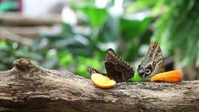 Butterflies eatng an orange on a tree trunk stock footage