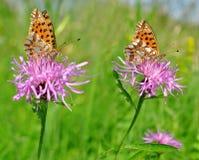 Butterflies Fabriciana aglaia Royalty Free Stock Photos