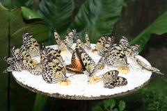 Butterflies feeding on banana chunks Royalty Free Stock Photos