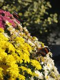 Butterflies feeding on colorful flowers Stock Images