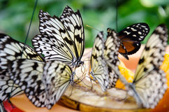Butterflies Feeding. A group of butterflies enjoy a meal of organges and bananas Stock Photo