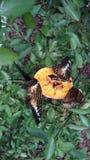 Butterflies feeding from a half orange Stock Photo