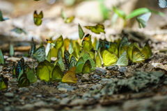 Butterflies are feeding mineral at  Kaeng Krachan National Park, Royalty Free Stock Image