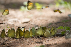 Butterflies are feeding mineral at  Kaeng Krachan National Park, Royalty Free Stock Photography