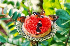 Butterflies feeding nectar from large blossoming flower. Butterflies or cute insects with brightly colored wings feeding nectar from large blossoming flower with royalty free stock photo