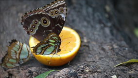 Butterflies feeding with orange juice Royalty Free Stock Photos