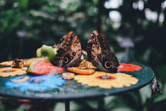 Butterflies feeding on table Royalty Free Stock Image