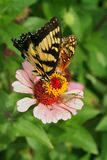 Butterflies feeding together on a pink Zinnia in a summer flower garden. Tiger Swallowtail and Great Spangled Fritillary butterflies and a moth feed on one pale Royalty Free Stock Photos