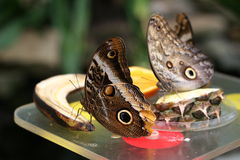 Butterflies Feeding. Two butterflies eating banana and pineapple Stock Photo