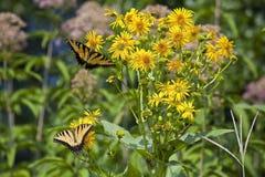 Butterflies Feeding on Yellow Flowers Stock Photo