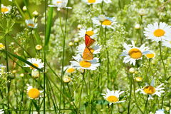 Butterflies in field of daisies. Stock Photos