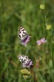 Butterflies on the flower. Walk through the meadow butterflies Stock Photos