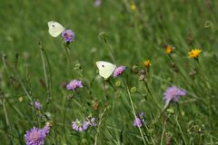Butterflies on the flower. Walk through the meadow butterflies Royalty Free Stock Photography