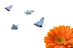 Butterflies and flower. Azure butterflies fly to orange flower royalty free stock image