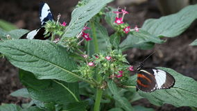 Butterflies on flower. Close up stock video