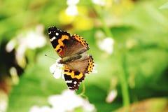 Butterflies in flower head Stock Image