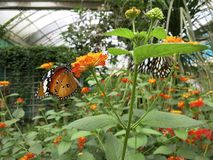 Butterflies on Flower Plant Royalty Free Stock Image