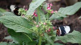 Butterflies on flower stock footage