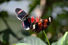Butterflies on flower 1. Three butterflies on a flower Royalty Free Stock Photos
