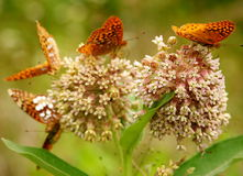 Butterflies on flowers Royalty Free Stock Images