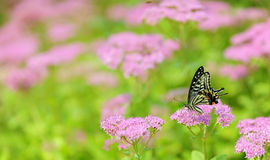 Butterflies and flowers Stock Image