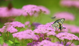 Butterflies and flowers Royalty Free Stock Image