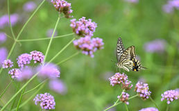 Butterflies and flowers Stock Photography