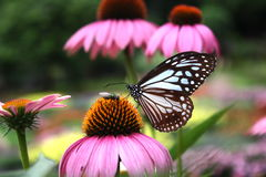 Butterflies and flowers. Stock Photo