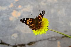 Butterflies and flowers royalty free stock photo