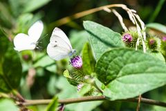 Butterflies on flowers of greater burdock plant. Large white butterflies on flowers of greater burdock plant in Timiryazevskiy park of Moscow on summer day stock photo