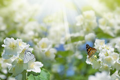 Butterflies on flowers of jasmine Royalty Free Stock Photography