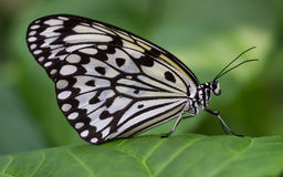 Idea leuconoe clara Butterfly fluttering and relaxing in a garden Stock Image