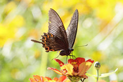 Butterflies flying Royalty Free Stock Photos