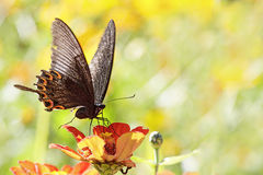 Butterflies flying Royalty Free Stock Image
