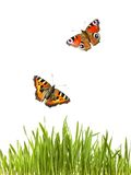 Butterflies flying over green grass. White background Stock Images