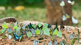 Butterflies in the forest.