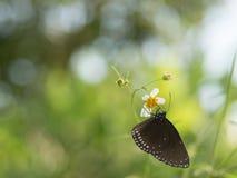 Butterflies in fresh green grass fields. Butterflies fresh green grass fields summer nature flower spring meadows season garden background beauty environment royalty free stock image