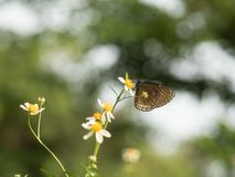 Butterflies in fresh green grass fields. Butterflies fresh green grass fields summer nature flower spring meadows season garden background beauty environment stock photo