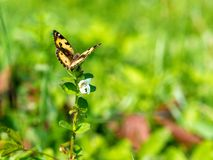 Butterflies in fresh green grass fields summer. Butterflies fresh green grass fields summer sunny nature flower spring meadow season garden background beauty stock images