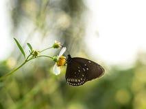 Butterflies in fresh green grass fields. Butterflies fresh green grass fields summer nature flower spring meadows season garden background beauty environment royalty free stock photo