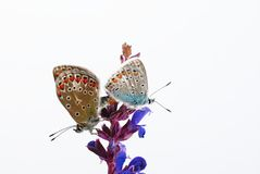 Butterflies. In front of isolated background Stock Images