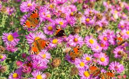 Butterflies in the garden. Red autumn asters with many peacock butterfly in autumn branches Royalty Free Stock Images