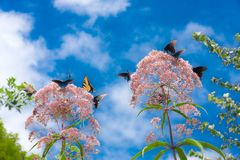Butterflies Gathering on Flowers. Yellow and Blue butterflies on Joe Pye Weed against blue sky with white fluffy clouds on a sunny day Royalty Free Stock Photos