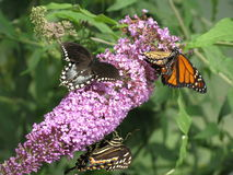 Butterflies Gathering Nectar. Monarch (Danaus Plexippus) and Palamedes Swallowtail (Papilio Palamedes) butterflies gathering nectar. Four or more butterflies are royalty free stock photo