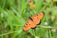 Butterflies on grass. Butterfly perched on top of the grass Royalty Free Stock Photo