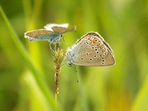 Butterflies on a grass pairing courting Royalty Free Stock Photography